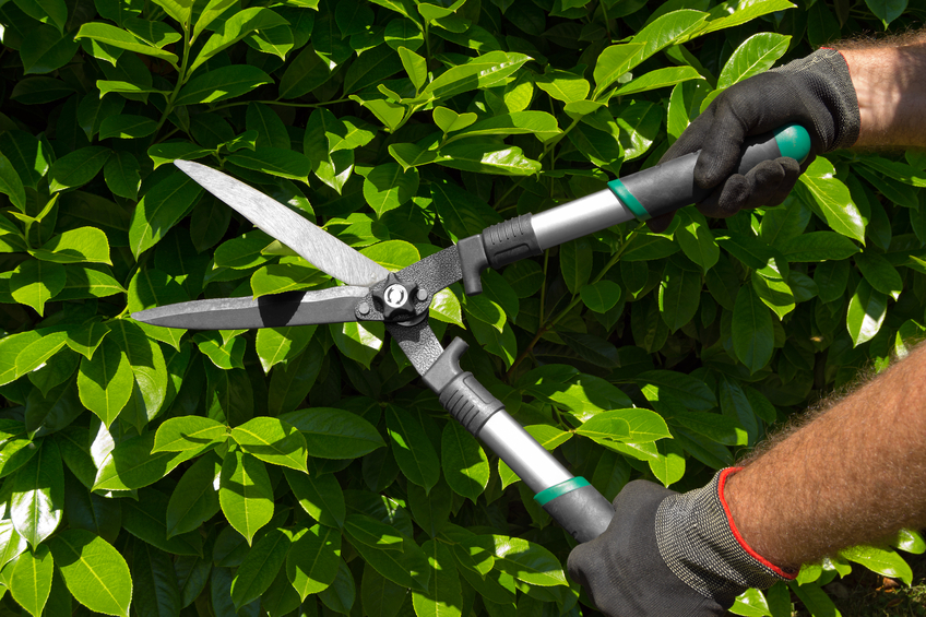 Hands of a professional gardener man with gloves and garden shears cutting a green hedge in the garden